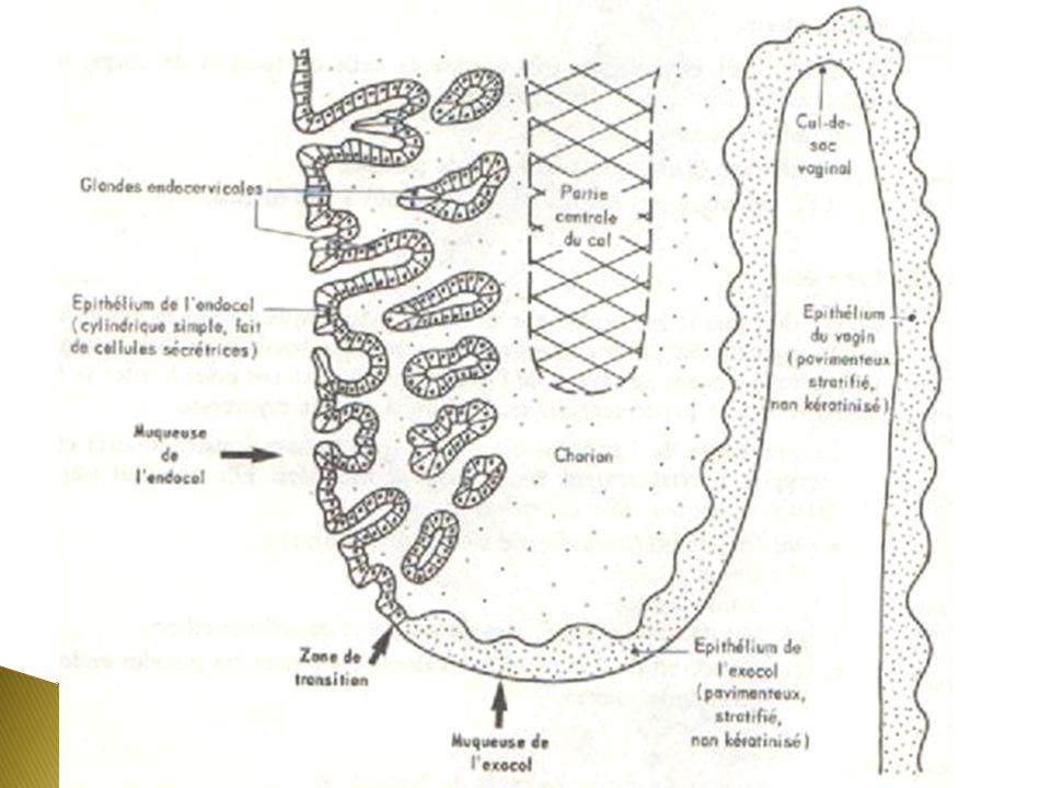 Portion endocervicalePortion exocervicale Épithélium cylindrique simple (cellules ciliées et sécrétrices) Glandes tubuleuses contournées dans le chorion Les sécrétions sont retenues dans des kystes = œufs de Naboth Épithélium pavimenteux stratifié Pas de modifications cycliques