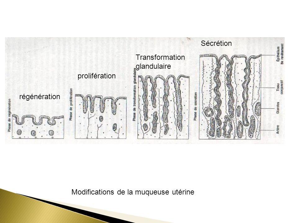 Modifications de la muqueuse utérine régénération prolifération Transformation glandulaire Sécrétion