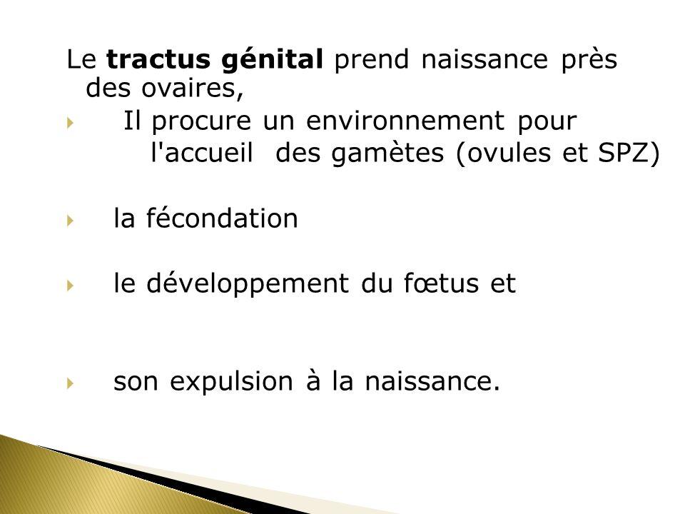 Le tractus génital prend naissance près des ovaires, Il procure un environnement pour l'accueil des gamètes (ovules et SPZ) la fécondation le développ