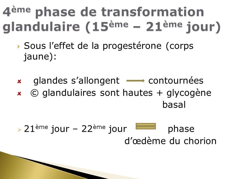 Sous leffet de la progestérone (corps jaune): glandes sallongent contournées © glandulaires sont hautes + glycogène basal 21 ème jour – 22 ème jour phase dœdème du chorion