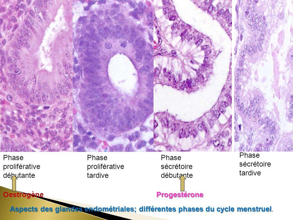 Phase proliférative débutante Oestrogène Phase proliférative tardive Phase sécrétoire débutante Phase sécrétoire tardive Progestérone Aspects des glandes endométriales; différentes phases du cycle menstruel Aspects des glandes endométriales; différentes phases du cycle menstruel.