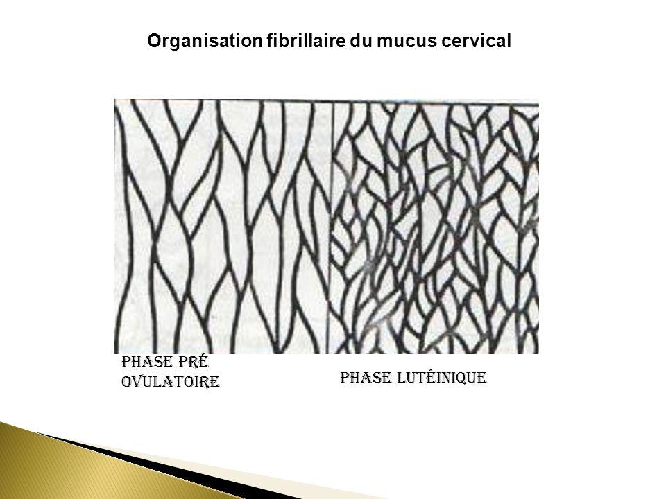 Organisation fibrillaire du mucus cervical Phase pré ovulatoire Phase lutéinique