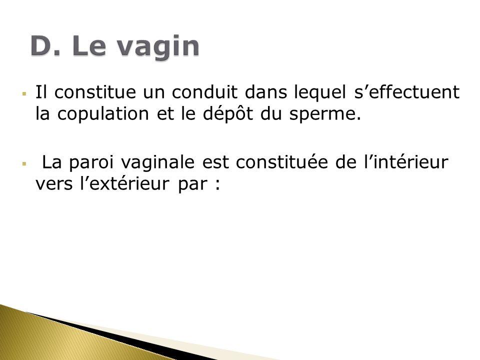 Il constitue un conduit dans lequel seffectuent la copulation et le dépôt du sperme. La paroi vaginale est constituée de lintérieur vers lextérieur pa