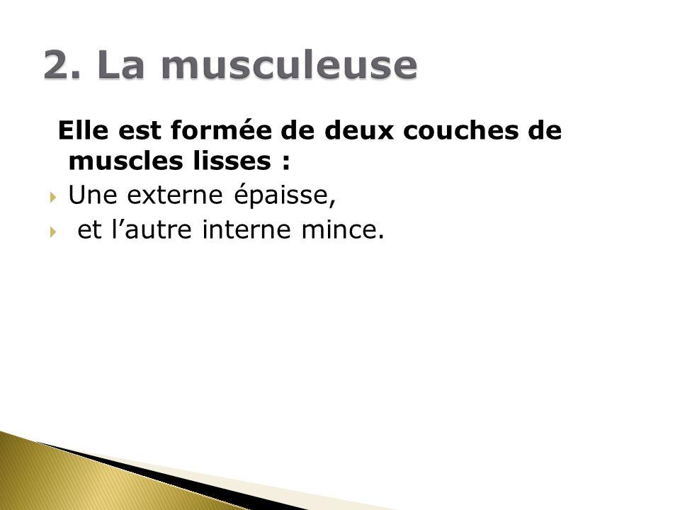 Elle est formée de deux couches de muscles lisses : Une externe épaisse, et lautre interne mince.