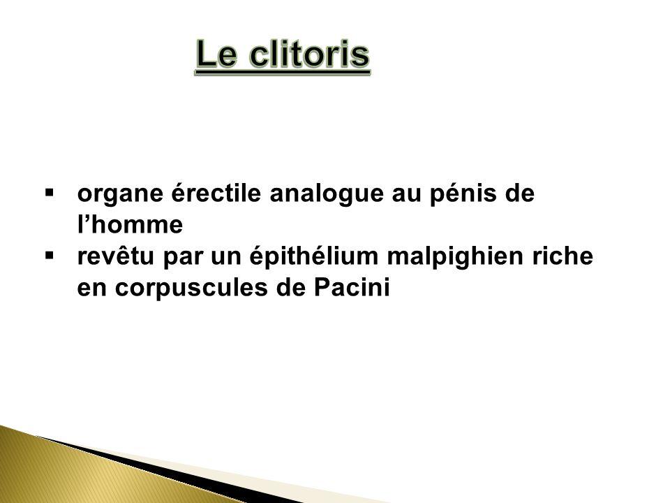 organe érectile analogue au pénis de lhomme revêtu par un épithélium malpighien riche en corpuscules de Pacini