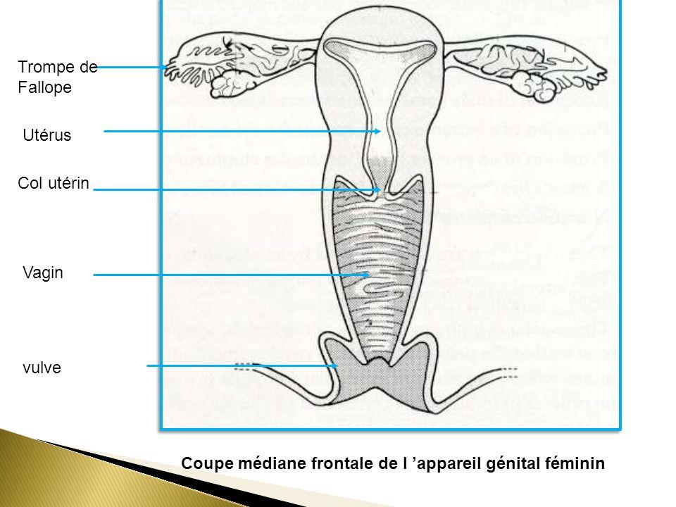 Coupe médiane frontale de l appareil génital féminin Trompe de Fallope Utérus Col utérin Vagin vulve
