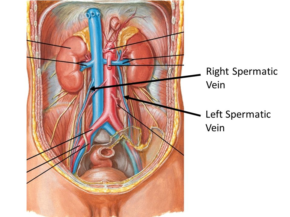 Right Spermatic Vein Left Spermatic Vein