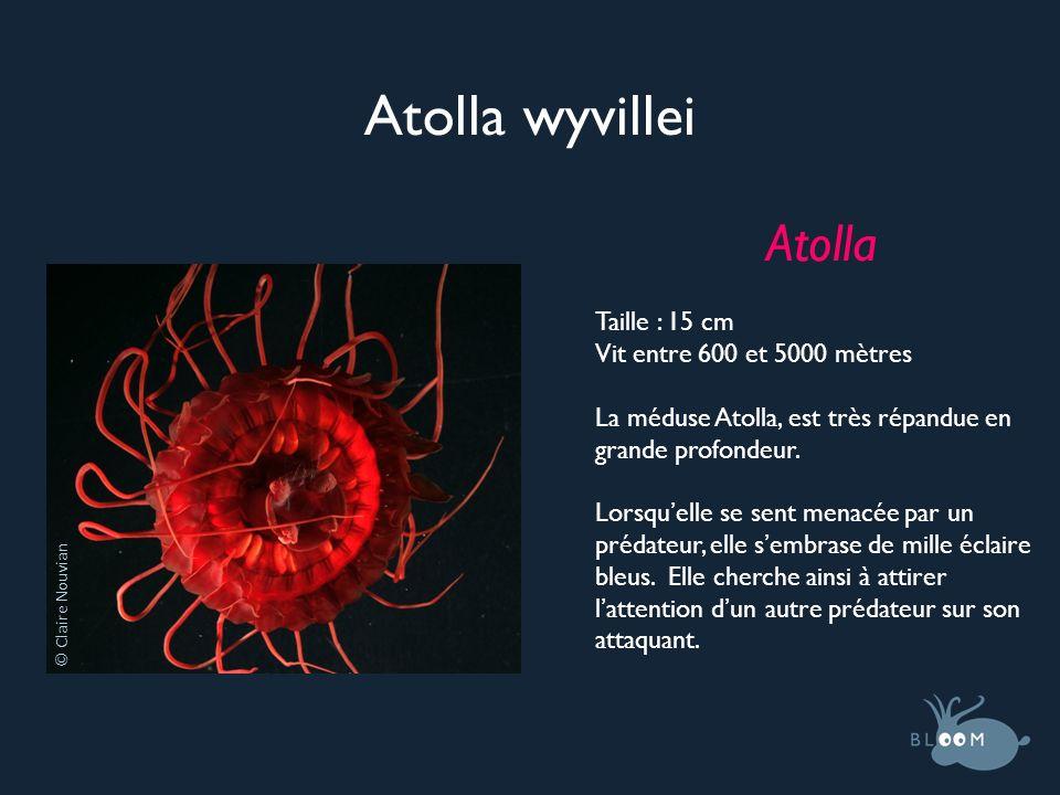 Atolla wyvillei Atolla Taille : 15 cm Vit entre 600 et 5000 mètres La méduse Atolla, est très répandue en grande profondeur. Lorsquelle se sent menacé