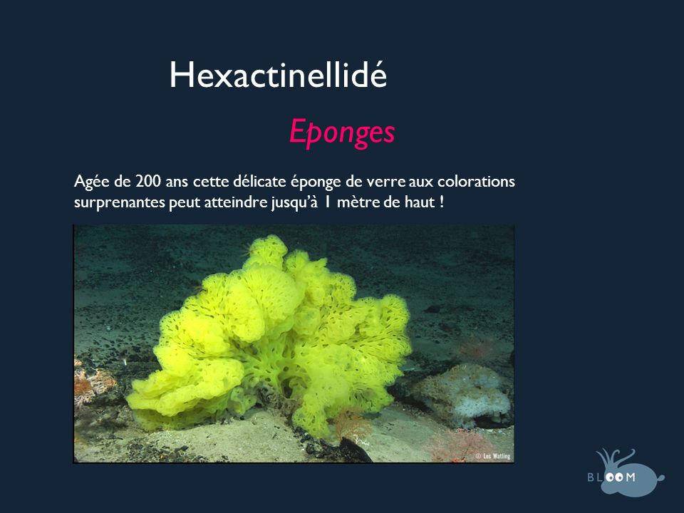 Hexactinellidé Eponges Agée de 200 ans cette délicate éponge de verre aux colorations surprenantes peut atteindre jusquà 1 mètre de haut !