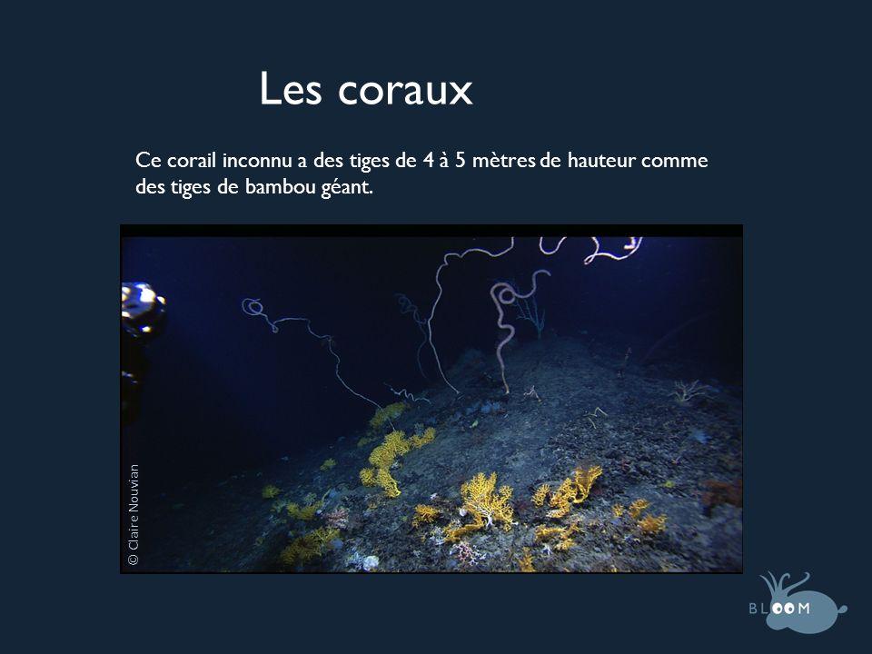 © Claire Nouvian Les coraux Ce corail inconnu a des tiges de 4 à 5 mètres de hauteur comme des tiges de bambou géant.
