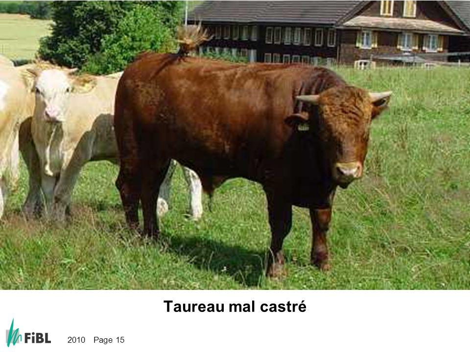 2010 Page 15 Bild: Schlecht oder falsch kastrierter Stier Taureau mal castré