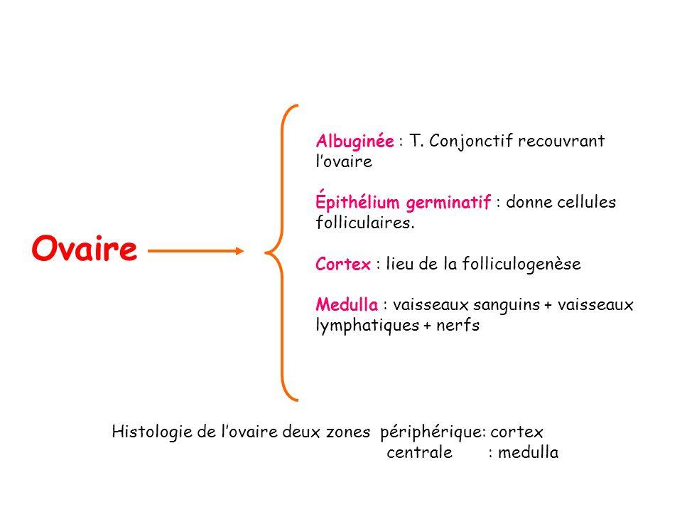 Ovaire Albuginée : T. Conjonctif recouvrant lovaire Épithélium germinatif : donne cellules folliculaires. Cortex : lieu de la folliculogenèse Medulla
