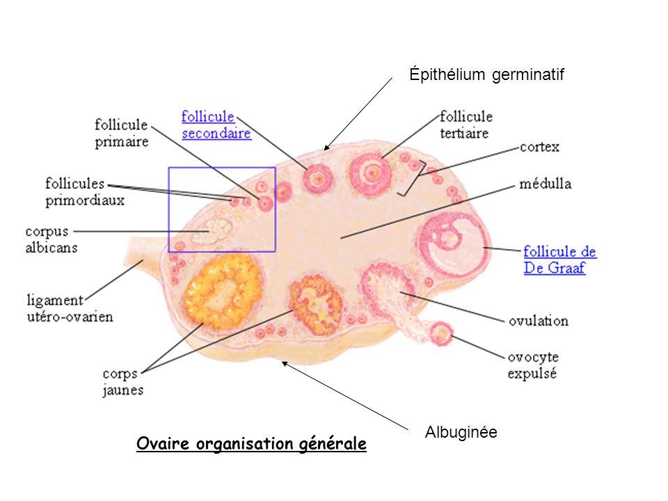 Albuginée Épithélium germinatif Ovaire organisation générale