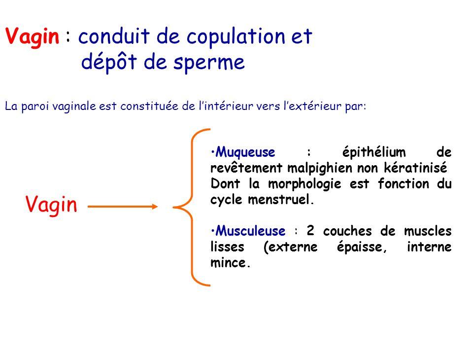 Vagin : conduit de copulation et dépôt de sperme La paroi vaginale est constituée de lintérieur vers lextérieur par: Vagin Muqueuse : épithélium de re