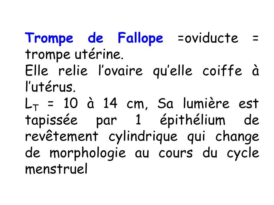 Trompe de Fallope =oviducte = trompe utérine. Elle relie lovaire quelle coiffe à lutérus. L T = 10 à 14 cm, Sa lumière est tapissée par 1 épithélium d