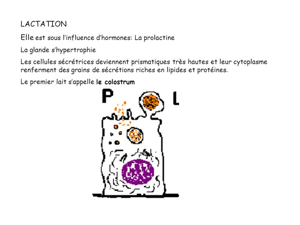 LACTATION Elle est sous linfluence dhormones: La prolactine La glande shypertrophie Les cellules sécrétrices deviennent prismatiques très hautes et le