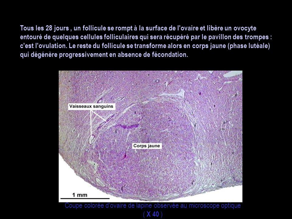 Tous les 28 jours, un follicule se rompt à la surface de l'ovaire et libère un ovocyte entouré de quelques cellules folliculaires qui sera récupéré pa