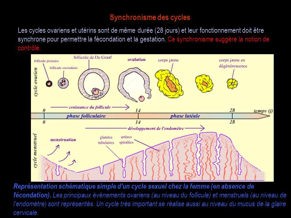 Synchronisme des cycles Représentation schématique simple d'un cycle sexuel chez la femme (en absence de fécondation). Les principaux évènements ovari