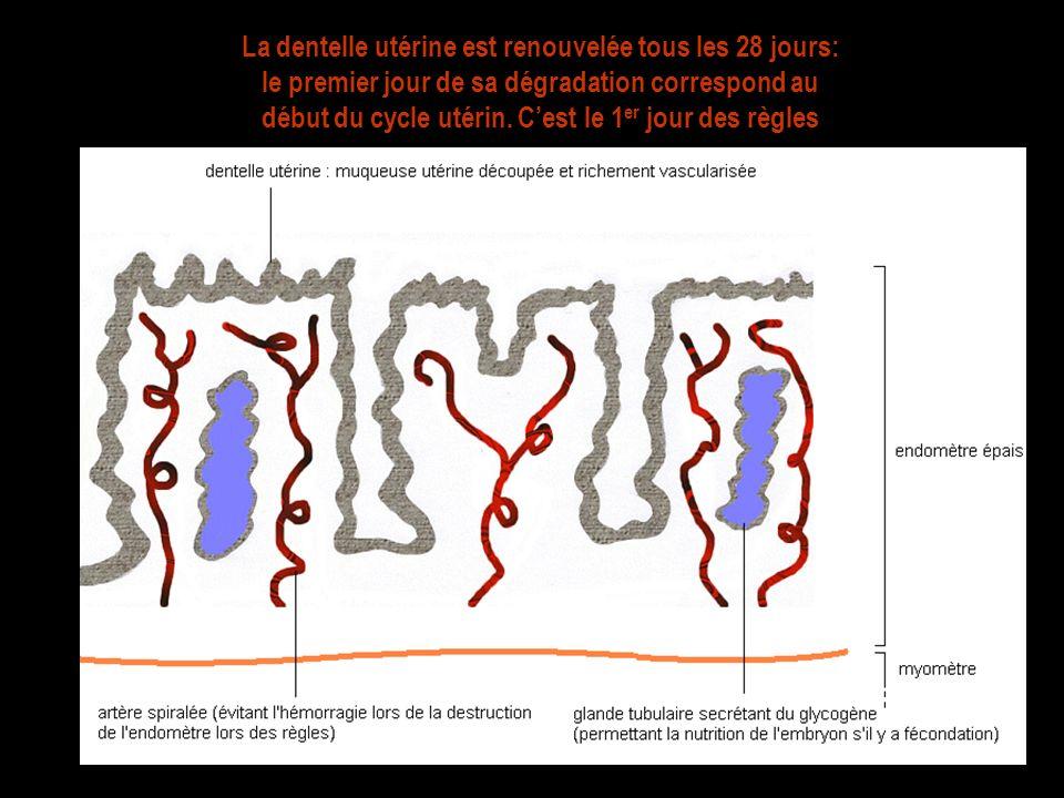 La dentelle utérine est renouvelée tous les 28 jours: le premier jour de sa dégradation correspond au début du cycle utérin. Cest le 1 er jour des règ