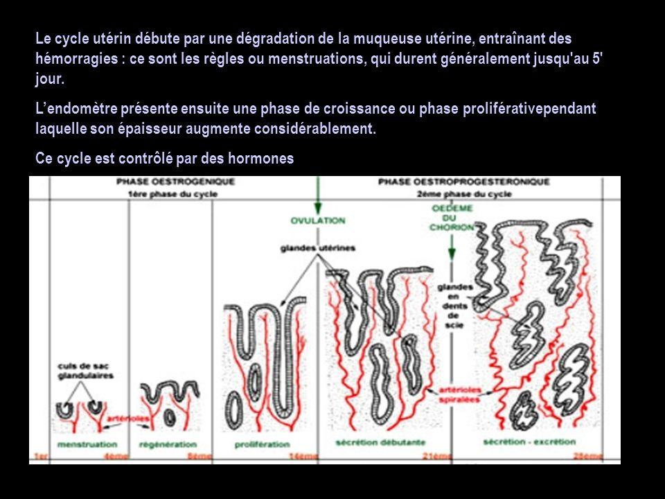 Le cycle utérin débute par une dégradation de la muqueuse utérine, entraînant des hémorragies : ce sont les règles ou menstruations, qui durent généra