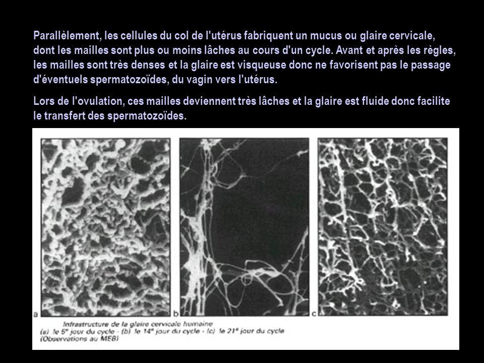 Parallèlement, les cellules du col de l'utérus fabriquent un mucus ou glaire cervicale, dont les mailles sont plus ou moins lâches au cours d'un cycle