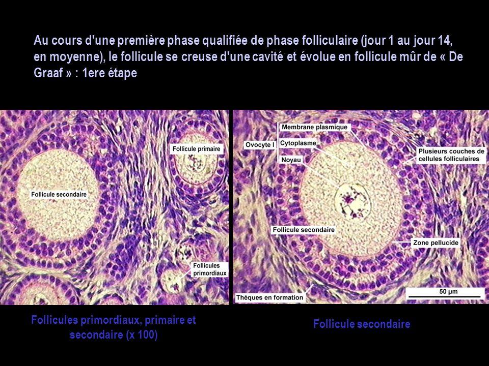 Au cours d'une première phase qualifiée de phase folliculaire (jour 1 au jour 14, en moyenne), le follicule se creuse d'une cavité et évolue en follic