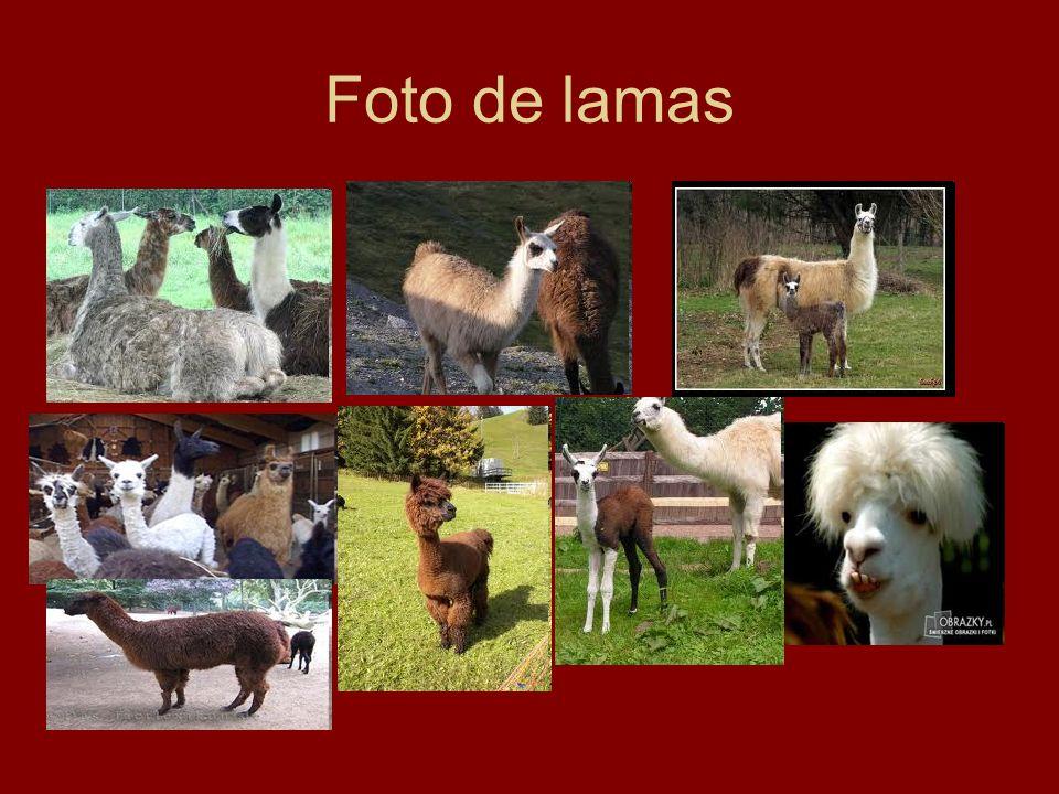 Foto de lamas