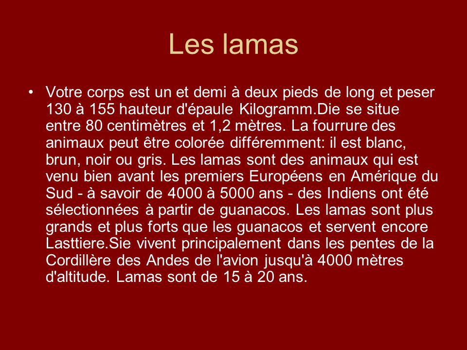 Les lamas Votre corps est un et demi à deux pieds de long et peser 130 à 155 hauteur d'épaule Kilogramm.Die se situe entre 80 centimètres et 1,2 mètre