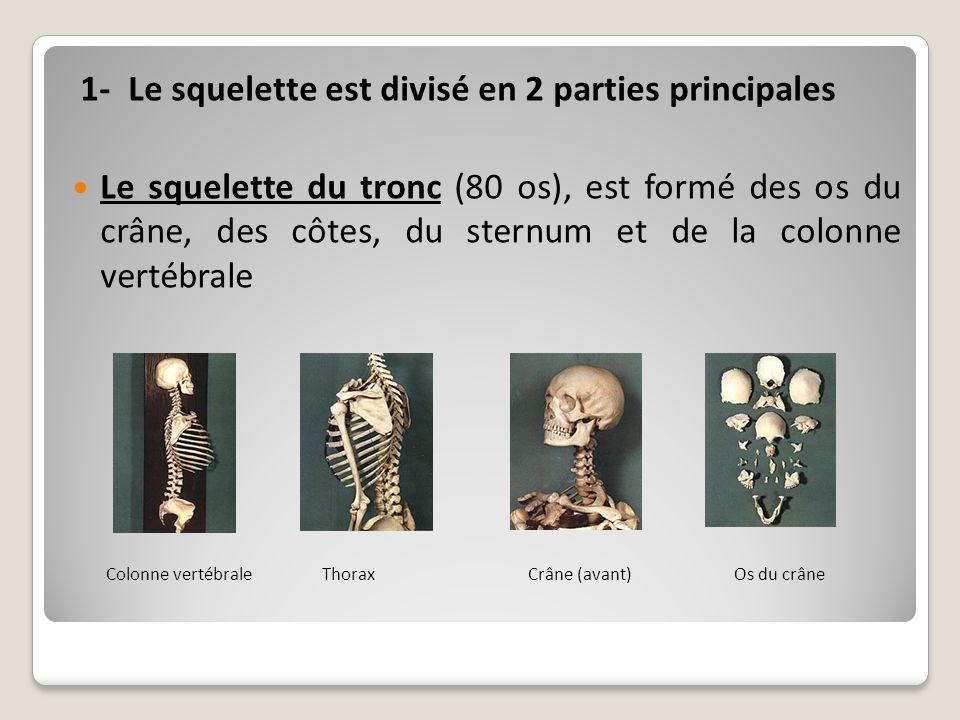1- Le squelette est divisé en 2 parties principales Le squelette du tronc (80 os), est formé des os du crâne, des côtes, du sternum et de la colonne v