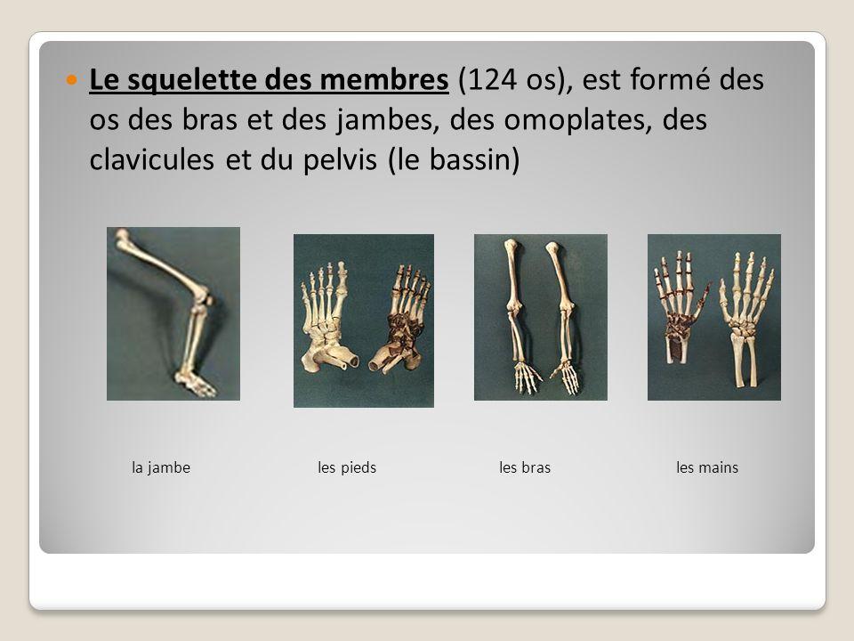 Le squelette des membres (124 os), est formé des os des bras et des jambes, des omoplates, des clavicules et du pelvis (le bassin) la jambe les pieds
