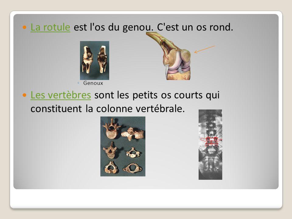 La rotule est l'os du genou. C'est un os rond. La rotule Genoux Les vertèbres sont les petits os courts qui constituent la colonne vertébrale. Les ver