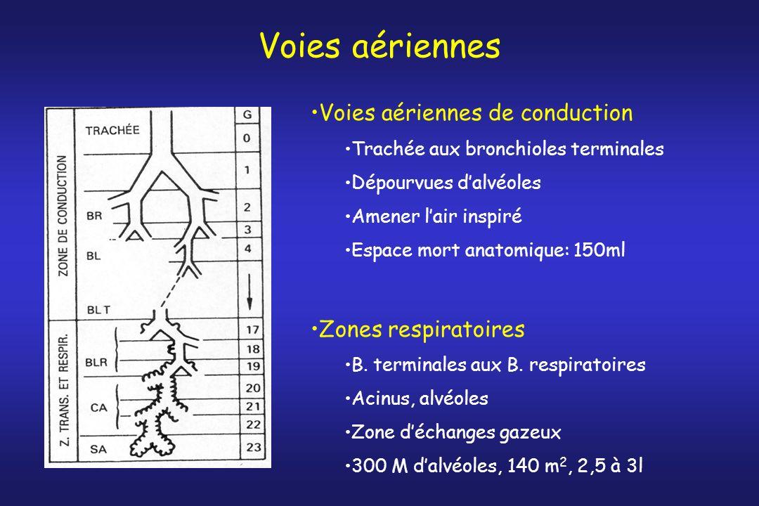 Voies aériennes Voies aériennes de conduction Trachée aux bronchioles terminales Dépourvues dalvéoles Amener lair inspiré Espace mort anatomique: 150m