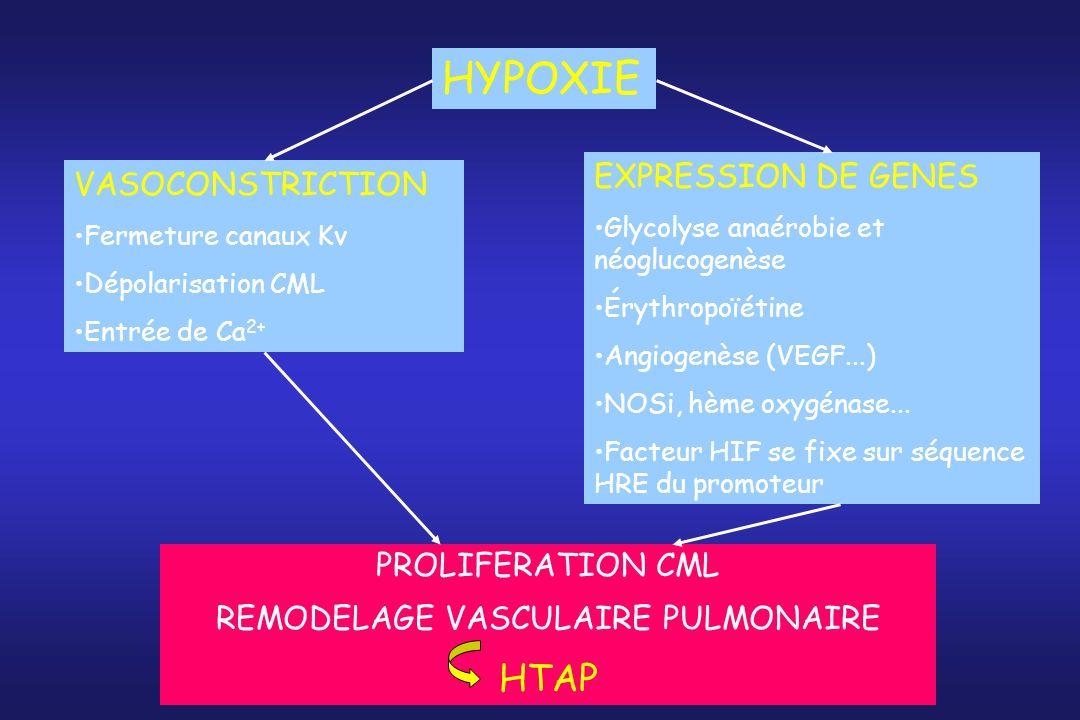 HYPOXIE VASOCONSTRICTION Fermeture canaux Kv Dépolarisation CML Entrée de Ca 2+ EXPRESSION DE GENES Glycolyse anaérobie et néoglucogenèse Érythropoïét