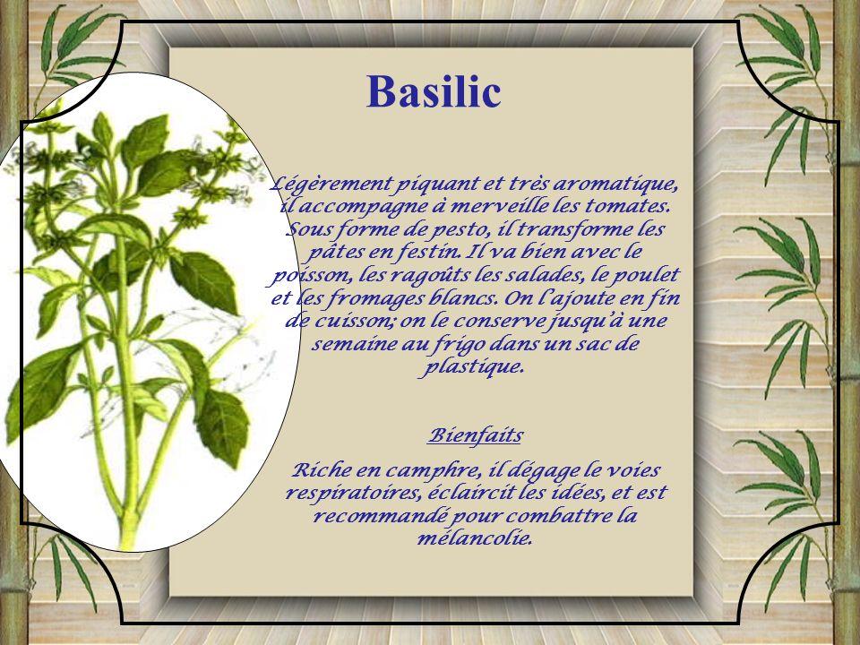 Plante aromatique ressemblant au céleri. L'angélique a une odeur très aromatique et musquée. Elle assaisonne le poisson ou aromatise le vinaigre. Ses