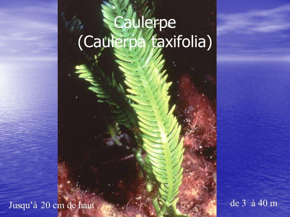 Jusquà 20 cm de haut de 3 à 40 m Caulerpe (Caulerpa taxifolia)