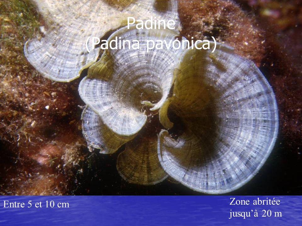 Entre 5 et 10 cm Zone abritée jusquà 20 m Padine (Padina pavonica)