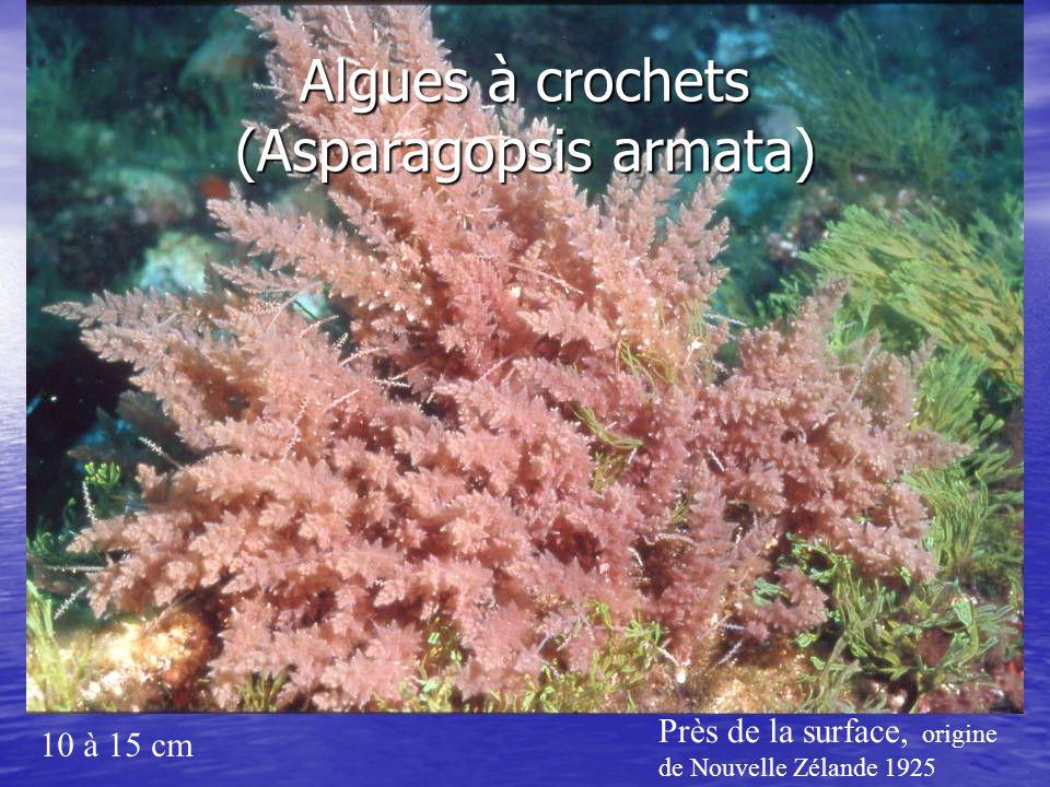Algues à crochets (Asparagopsis armata) 10 à 15 cm Près de la surface, origine de Nouvelle Zélande 1925