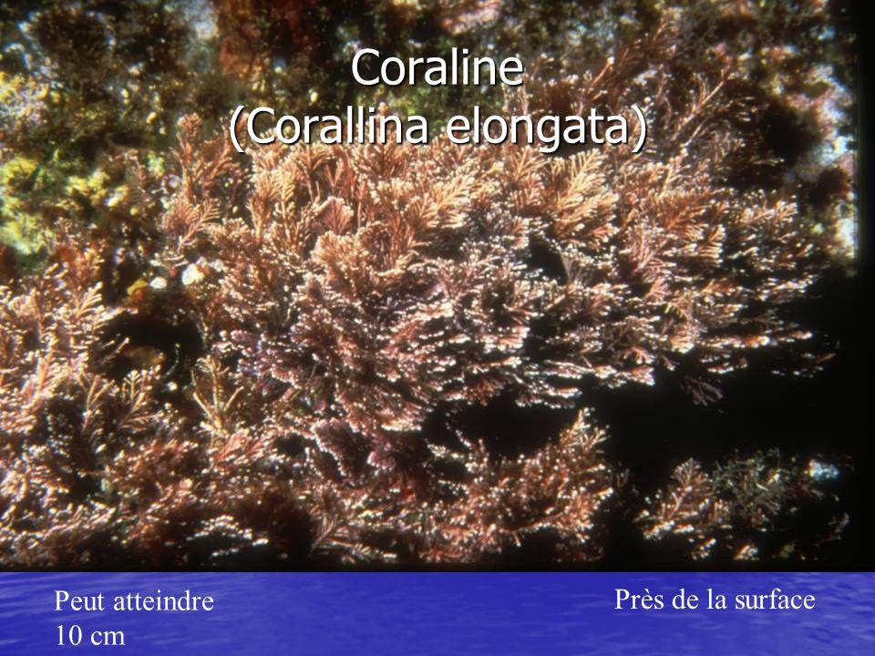 Coraline (Corallina elongata) Peut atteindre 10 cm Près de la surface