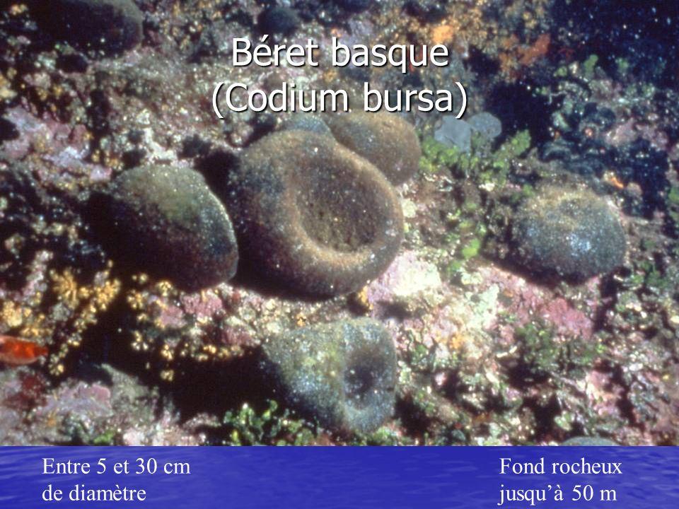 Entre 5 et 30 cm de diamètre Fond rocheux jusquà 50 m Béret basque (Codium bursa)