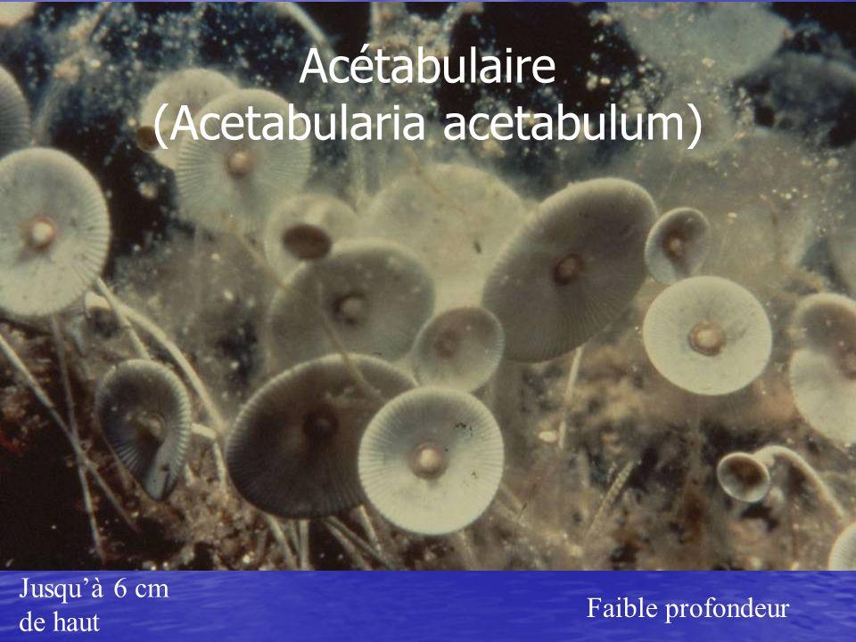 Jusquà 6 cm de haut Faible profondeur Acétabulaire (Acetabularia acetabulum)