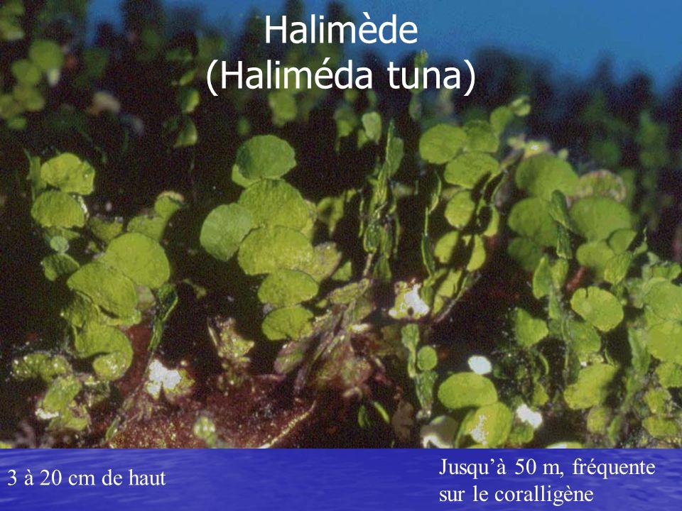Udotée (Udotea petiolata) Jusquà 10 cm de hautJusquà 60 m