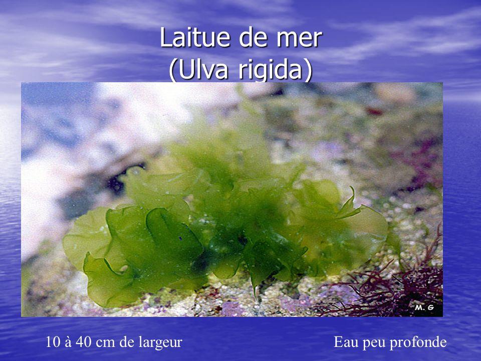 Laitue de mer (Ulva rigida) 10 à 40 cm de largeurEau peu profonde