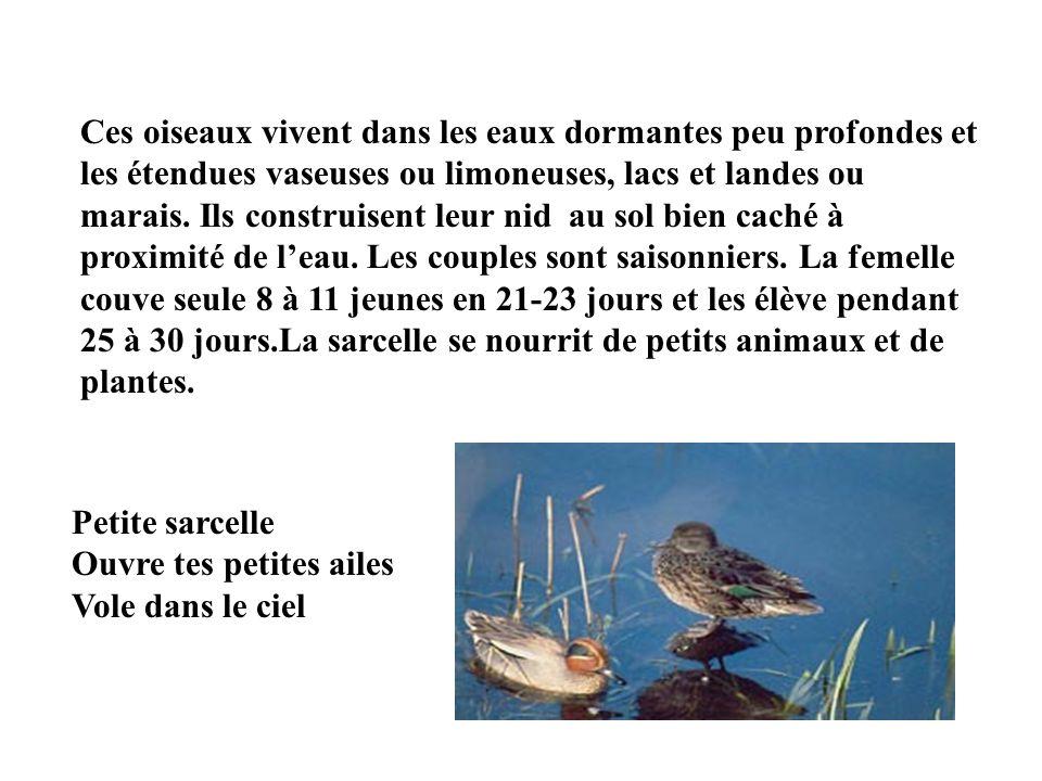 La sarcelle dhiver est un animal vertébré dont le nom en latin est ANA CRECCA. Cest le plus petit des canards de nos climats. Le mâle a une tête brun