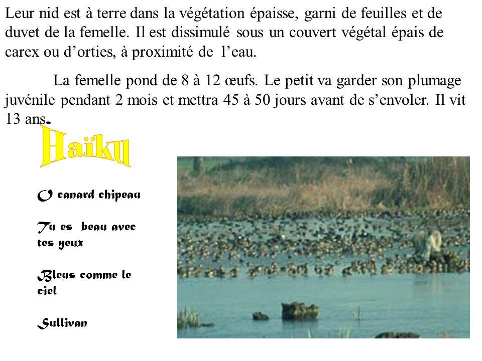 « Anas strepera » Le canard chipeau est un vertébré. Il fait environ 35 cm, le mâle pèse 700 à 900 g et la femelle de 650 à 850 g. Le bord orange du b