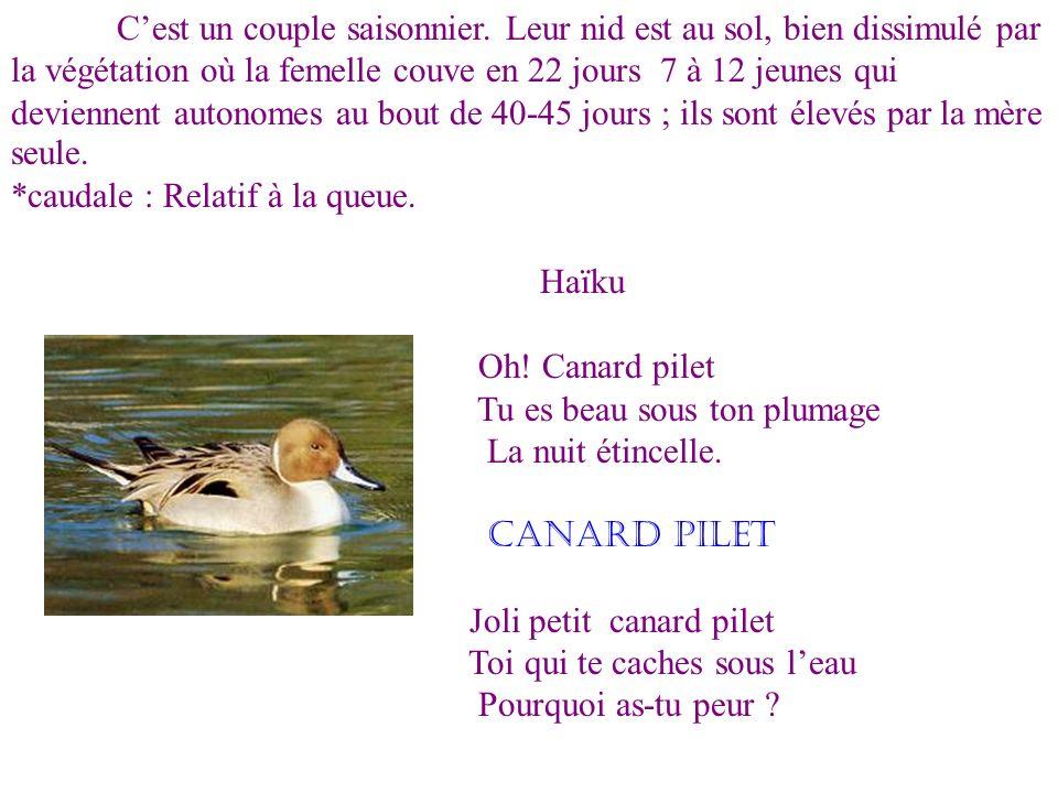Le canard pilet est un vertébré. Celui-ci est élancé, avec un cou mince et long. Il a la tête brun sombre, son cou est blanc comme le dessous du pluma