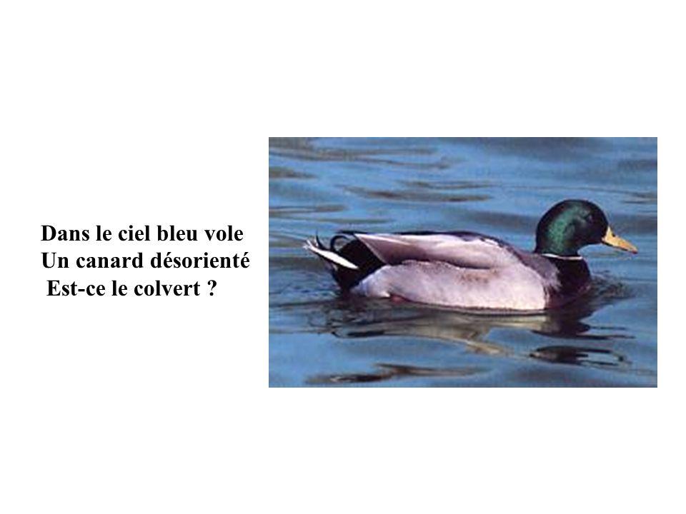 Le canard colvert est un animal vertébré dont le nom latin est « Anas pltyrhynchos ». Le colvert a un miroir bleu- violet sur laile, bordé de blanc et