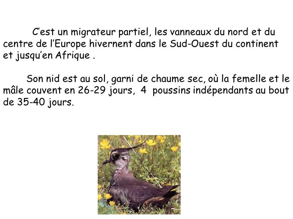 « vanellus vanellus » Le vanneau est un animal vertébré. Il mesure environ 30 cm et il pèse à peu près 230 g. Il a une gorge noire, son dos est de cou