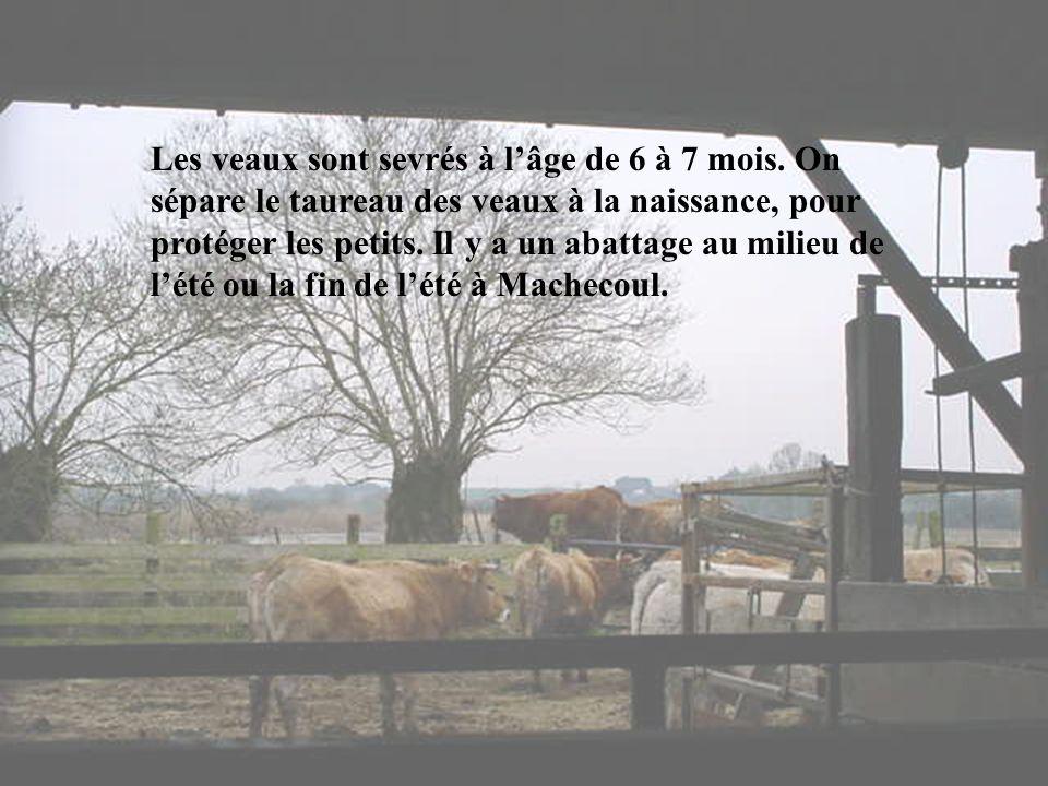 Ce troupeau ne donne pas de lait, cest une race à viande. Il entretient les marais en mangeant de lherbe, des roseaux ce qui permet aux oiseaux daccéd