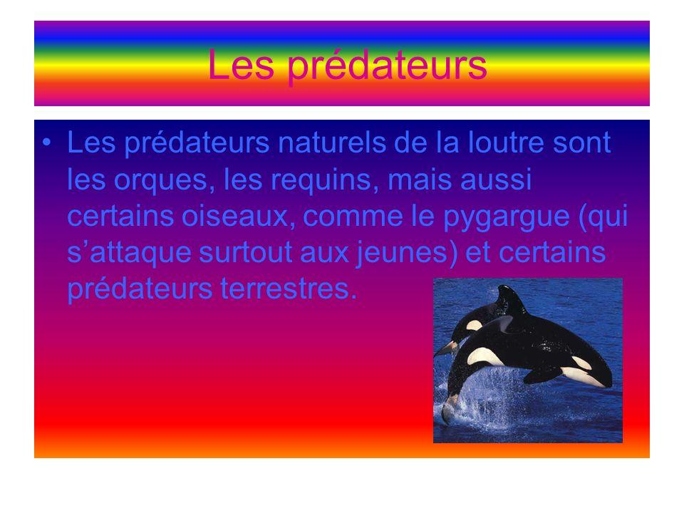Les prédateurs Les prédateurs naturels de la loutre sont les orques, les requins, mais aussi certains oiseaux, comme le pygargue (qui sattaque surtout aux jeunes) et certains prédateurs terrestres.