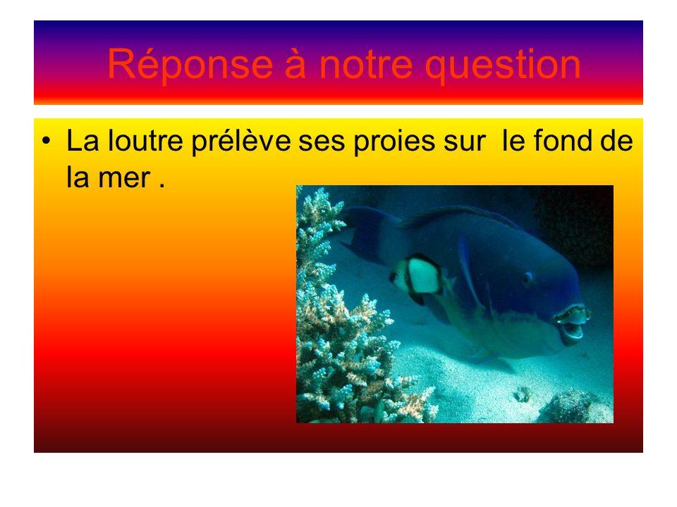 Réponse à notre question La loutre prélève ses proies sur le fond de la mer.